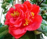 Bông hoa trà thâm hồng bát diện
