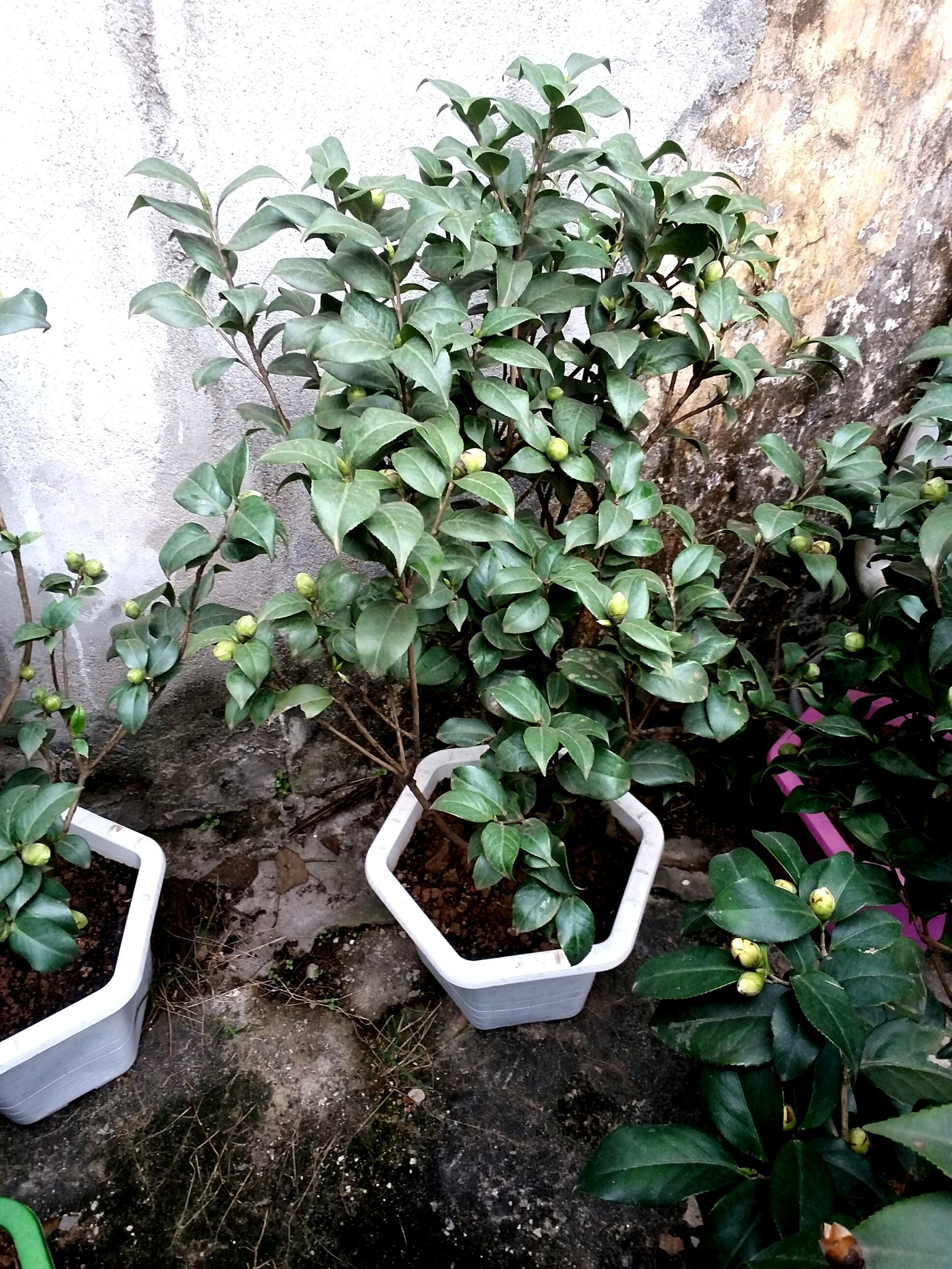 Cây hoa trà mi cao 70 đến 80 cm. Giá 600 k/cây.