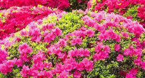 Cây hoa Đỗ quyên đẹp