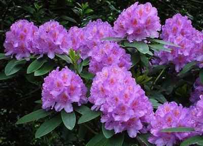 Cây hoa đỗ quyên mầu tím