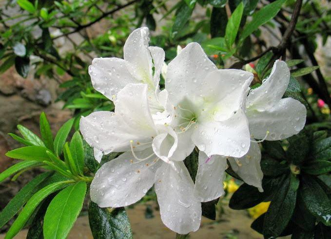 Cây hoa Đỗ quyên mầu trắng
