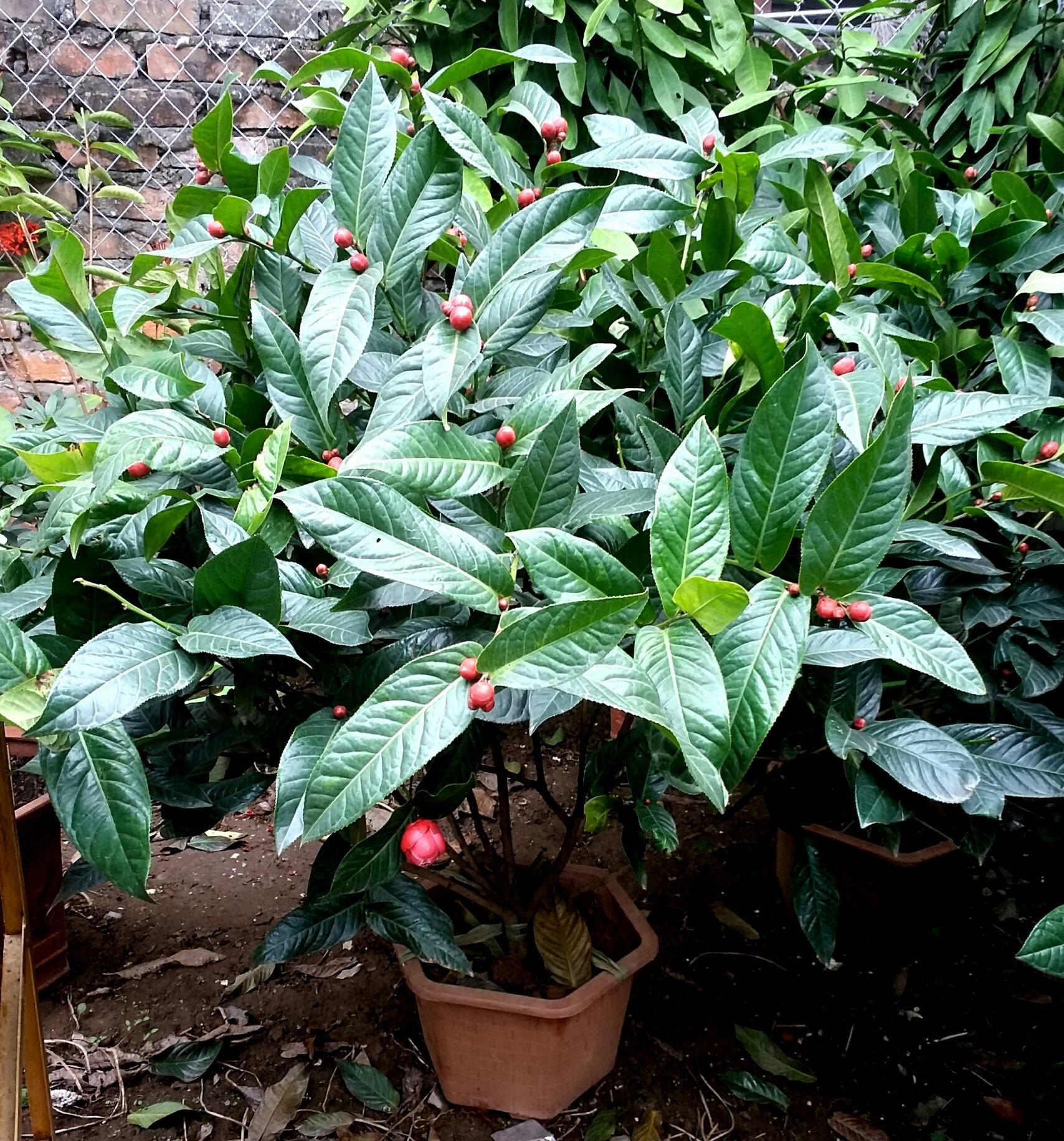 Cây hoa hải đường cao từ 90 cm đến 1 m. Giá 600 k/cây