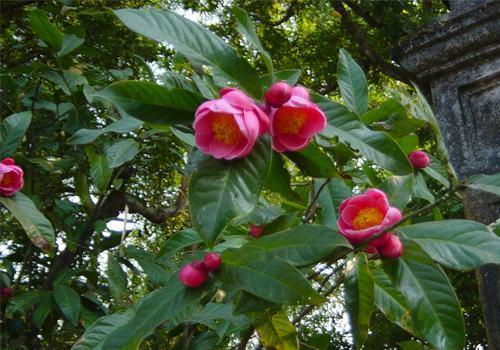 Cây hoa Hải đường