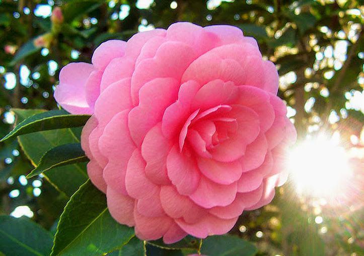 cây hoa hồng trà