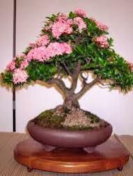 Cây hoa mẫu đơn Thái Lan mầu hồng phấn