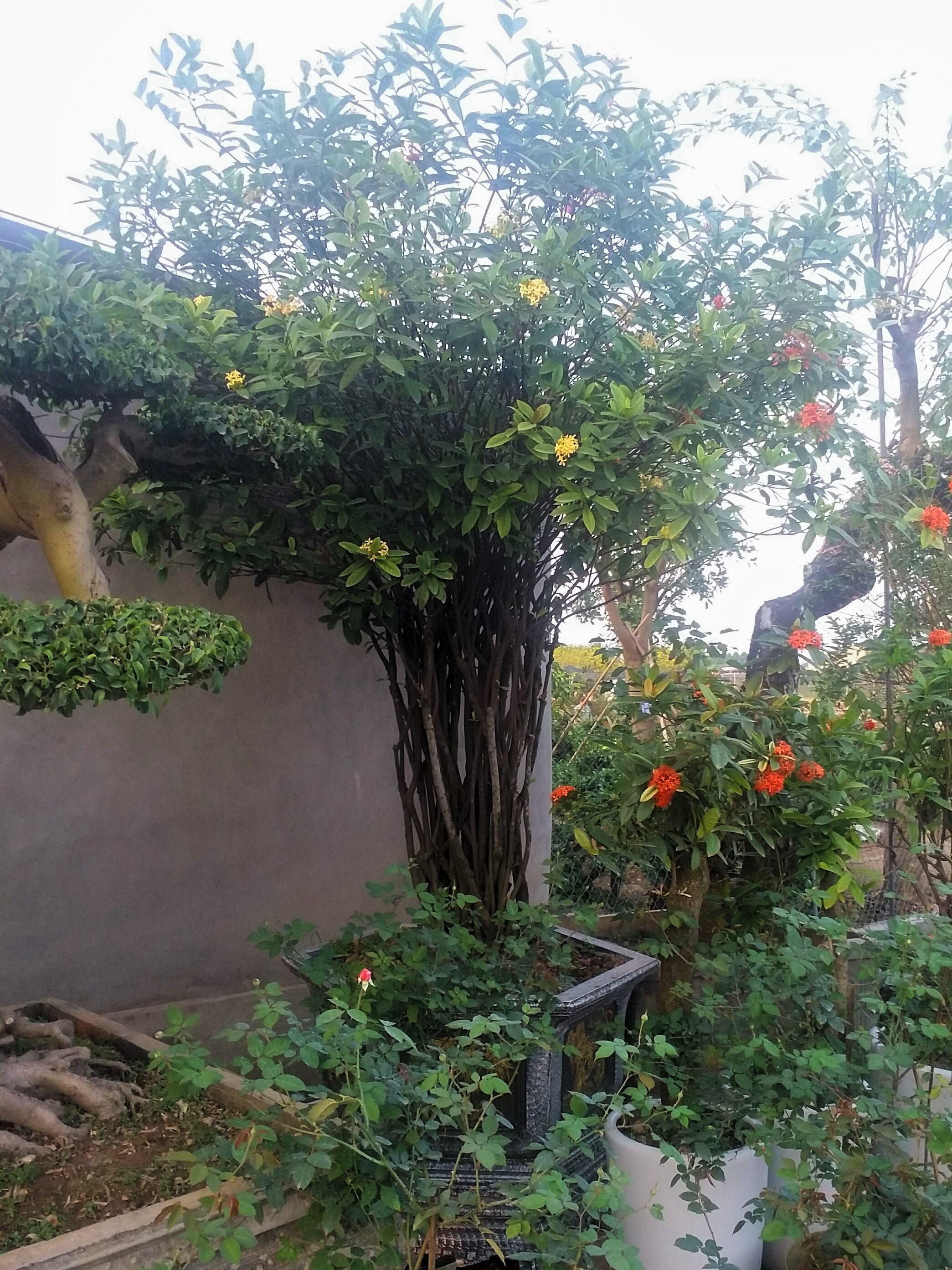 Cây hoa mẫu đơn VN vàng cổ thụ dáng Tree rose