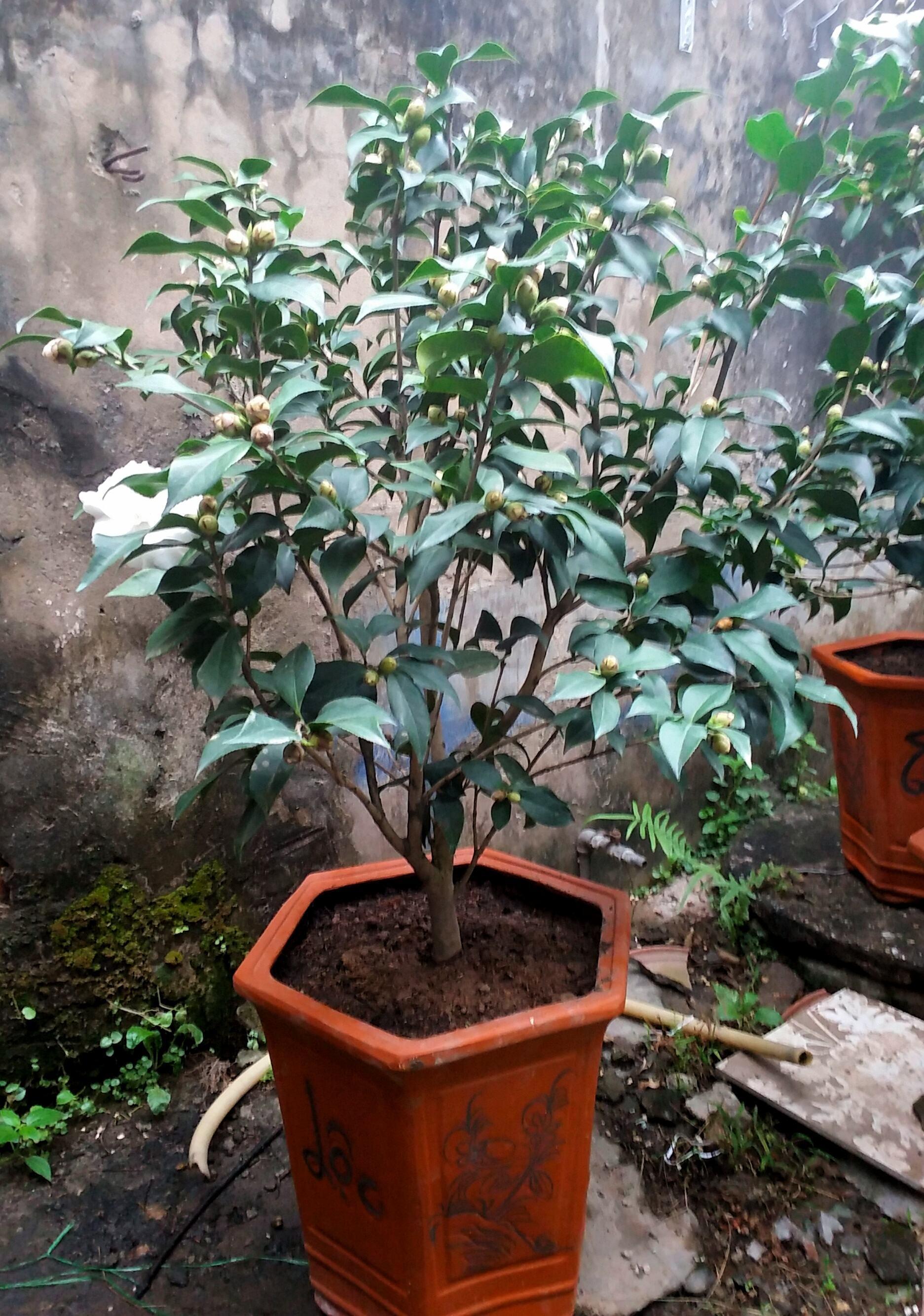 Cây hoa trà mi - Bạch trà cao 1,1 m