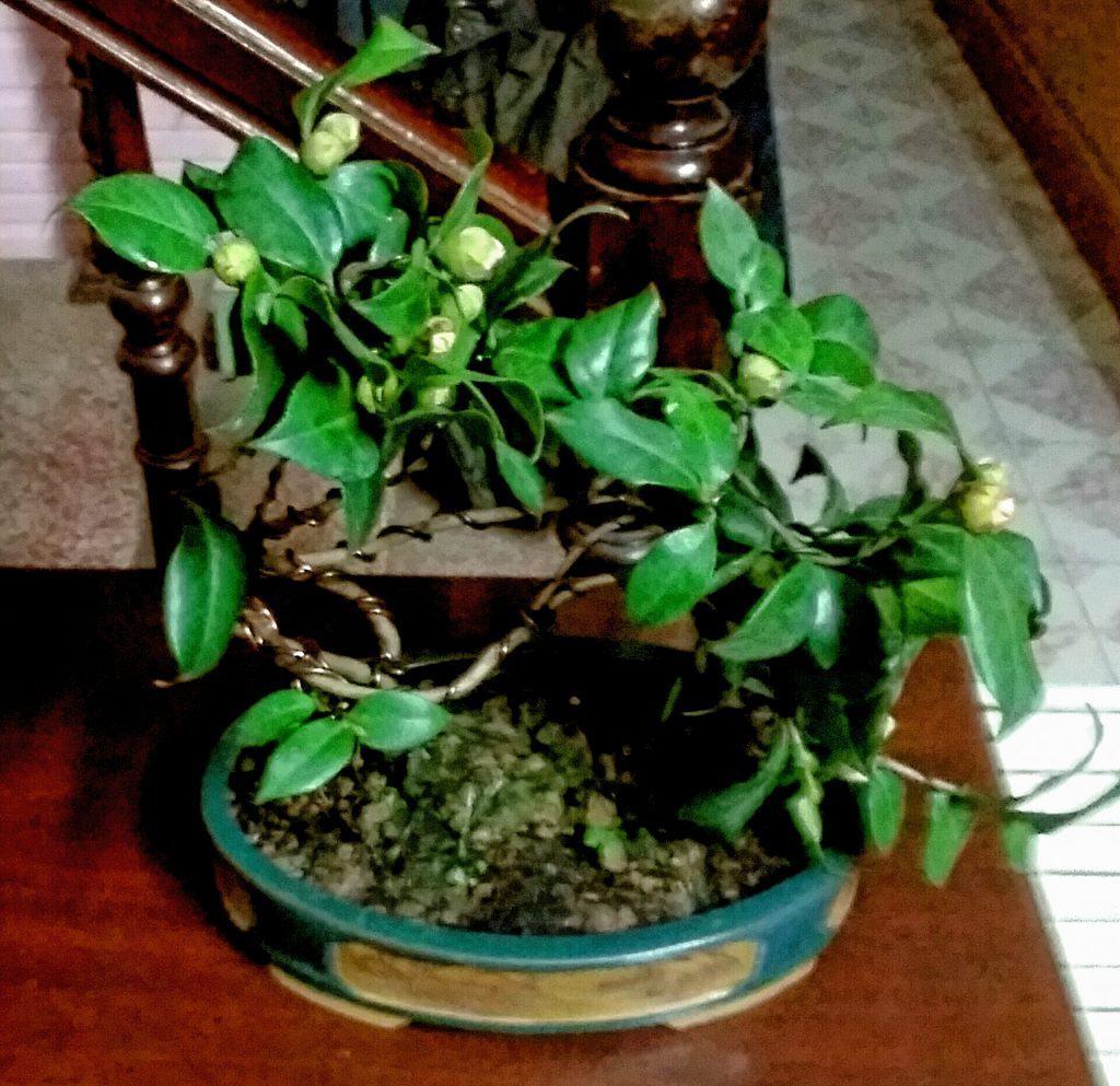 cây hoa trà mi bonsai thế bạt phong