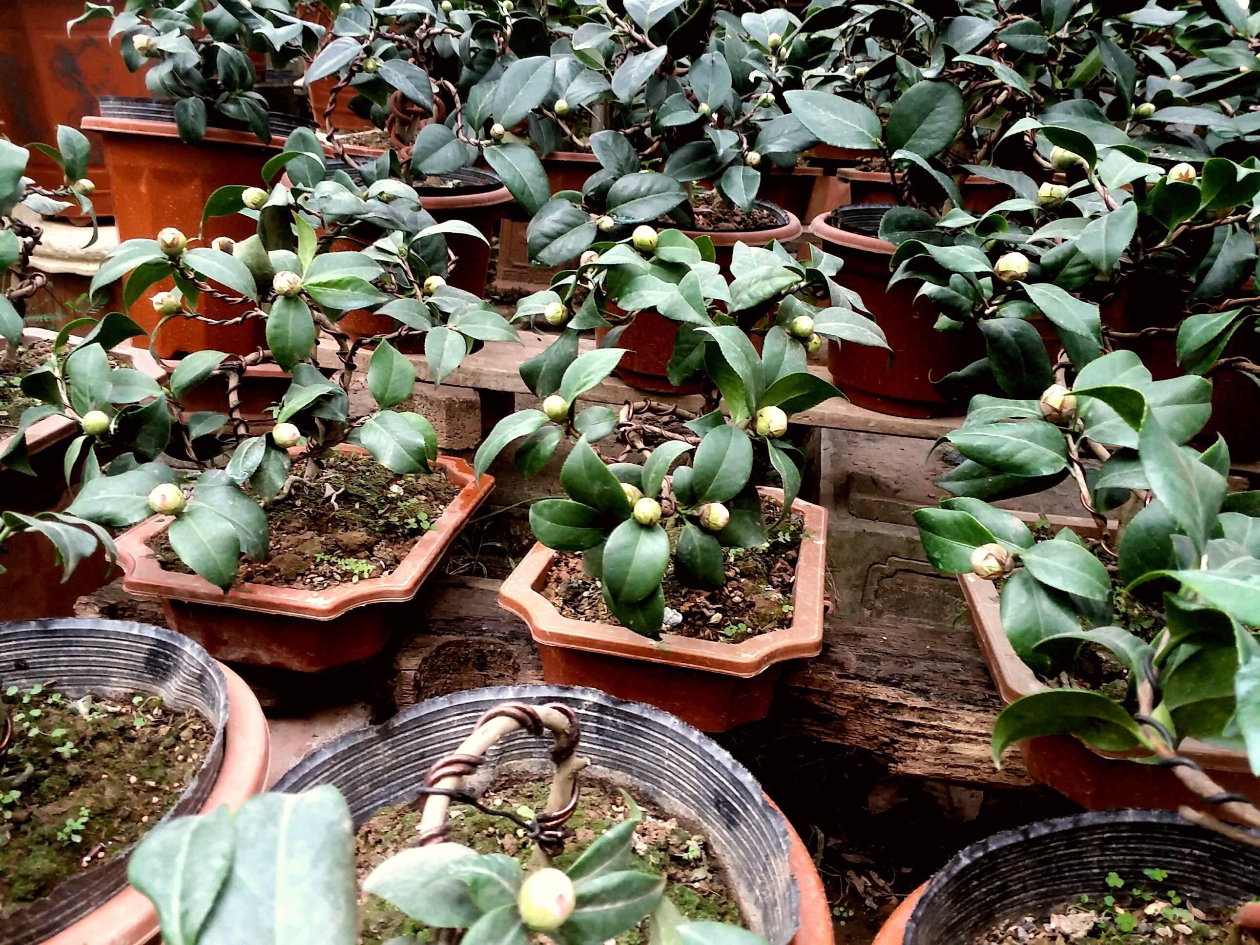 Cây hoa trà mi bonsai