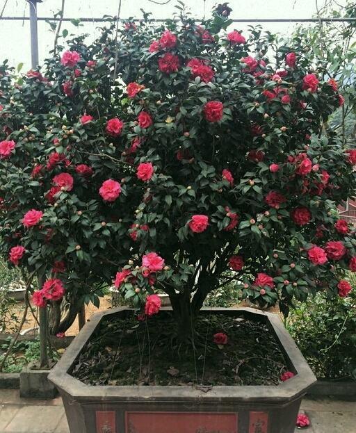 Cây hoa trà mi thâm hồng
