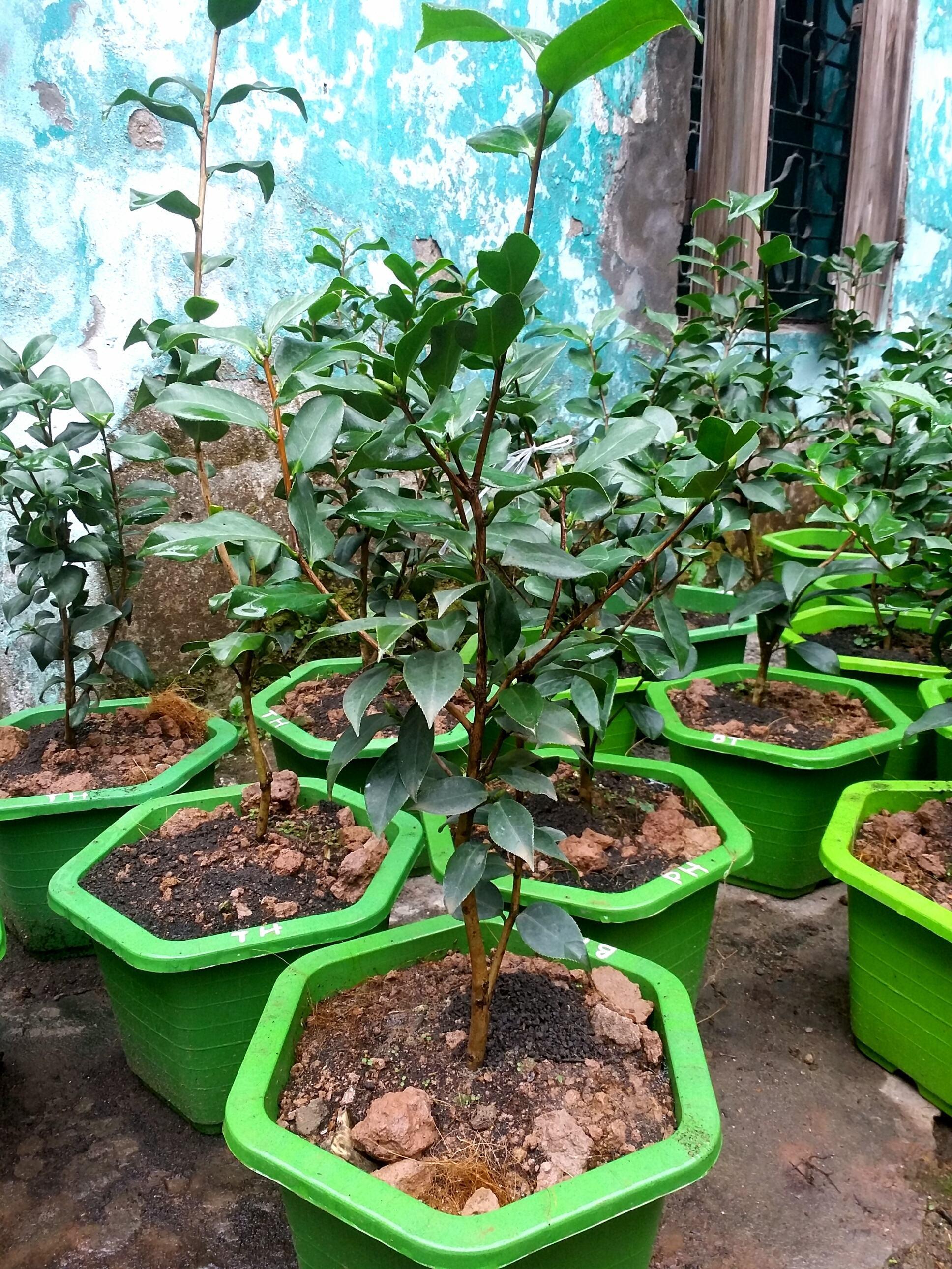 Cây hoa trà mi giống cao 50 đến 60cm