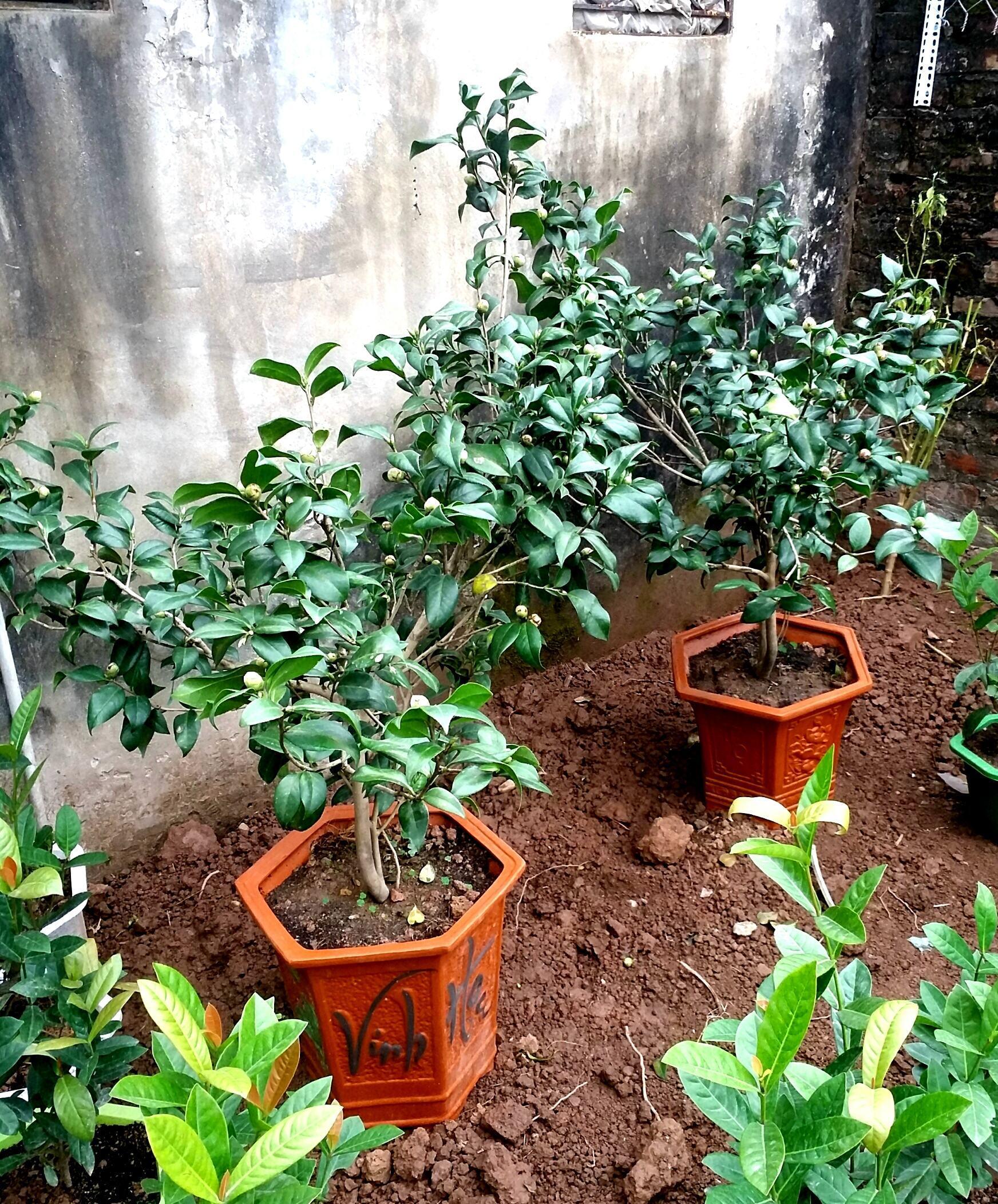 Cây hoa trà mi thâm hồng bát diện loại 4 năm tuổi