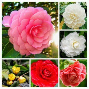 cây hoa trà mi việt nam