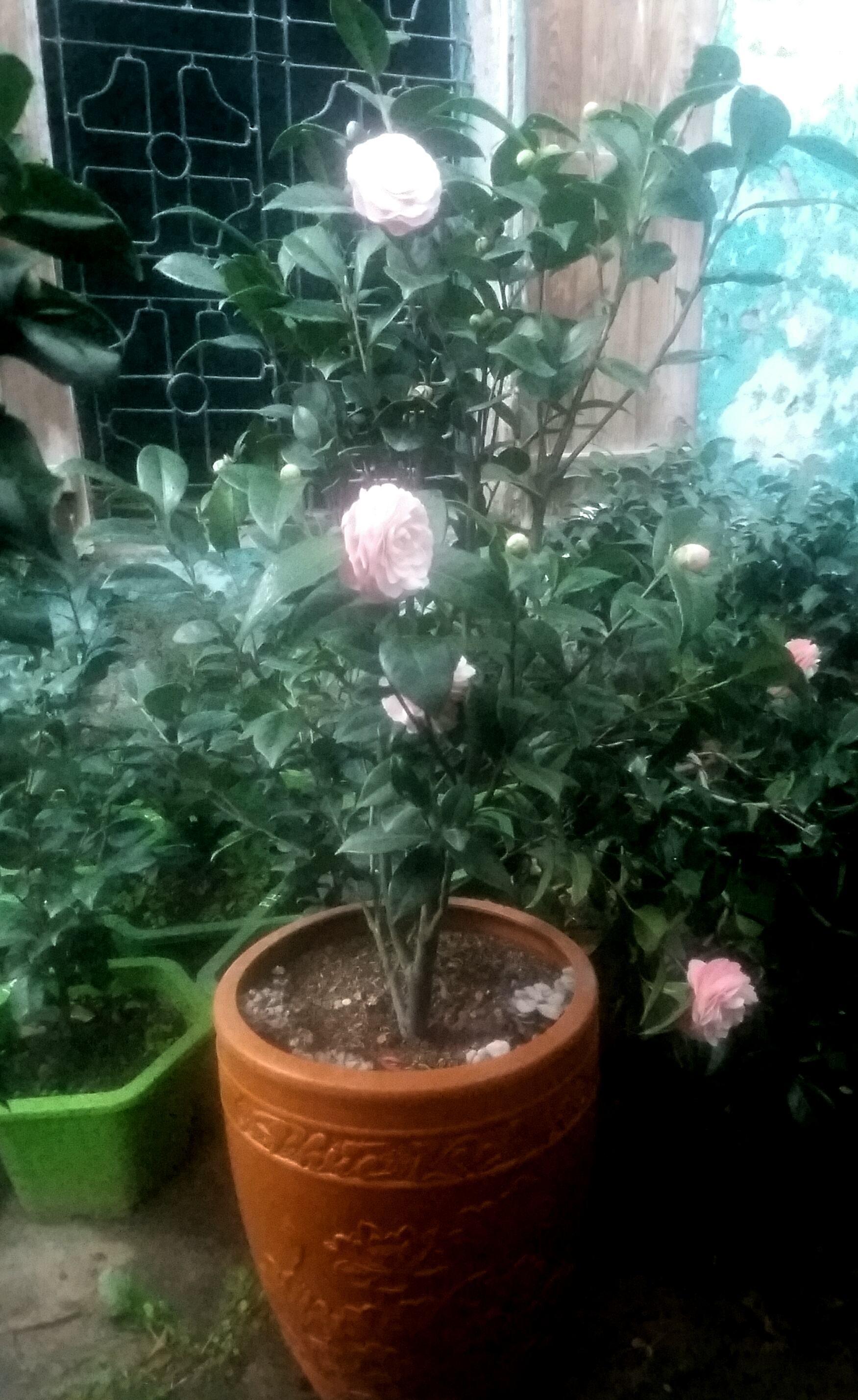 Cây hoa trà phấn hồng