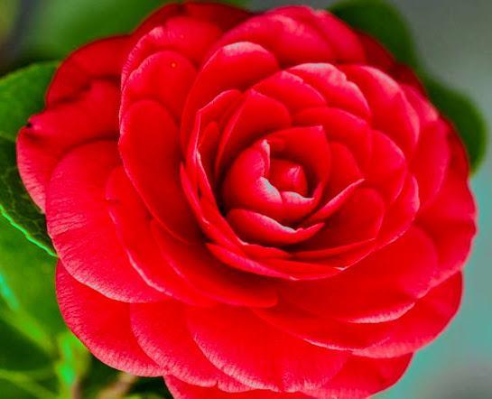 cây hoa trà thâm hông việt nam