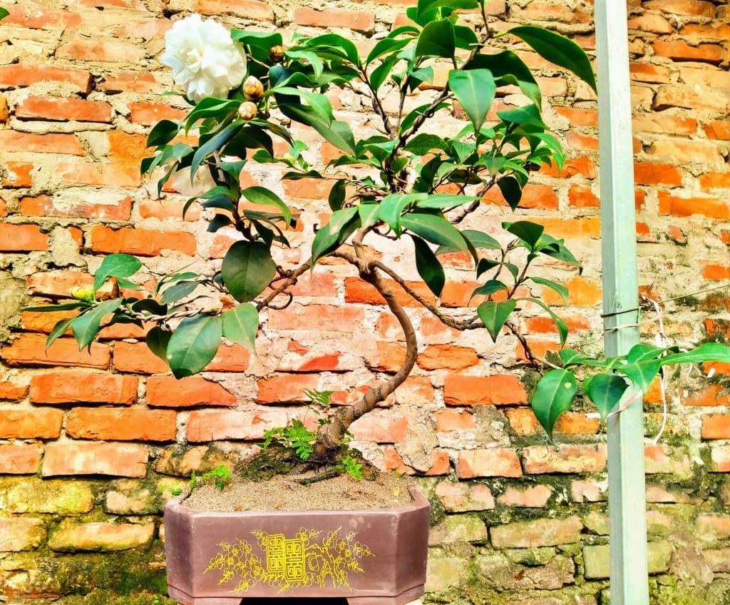 Cay hoa tra mi Bonsai