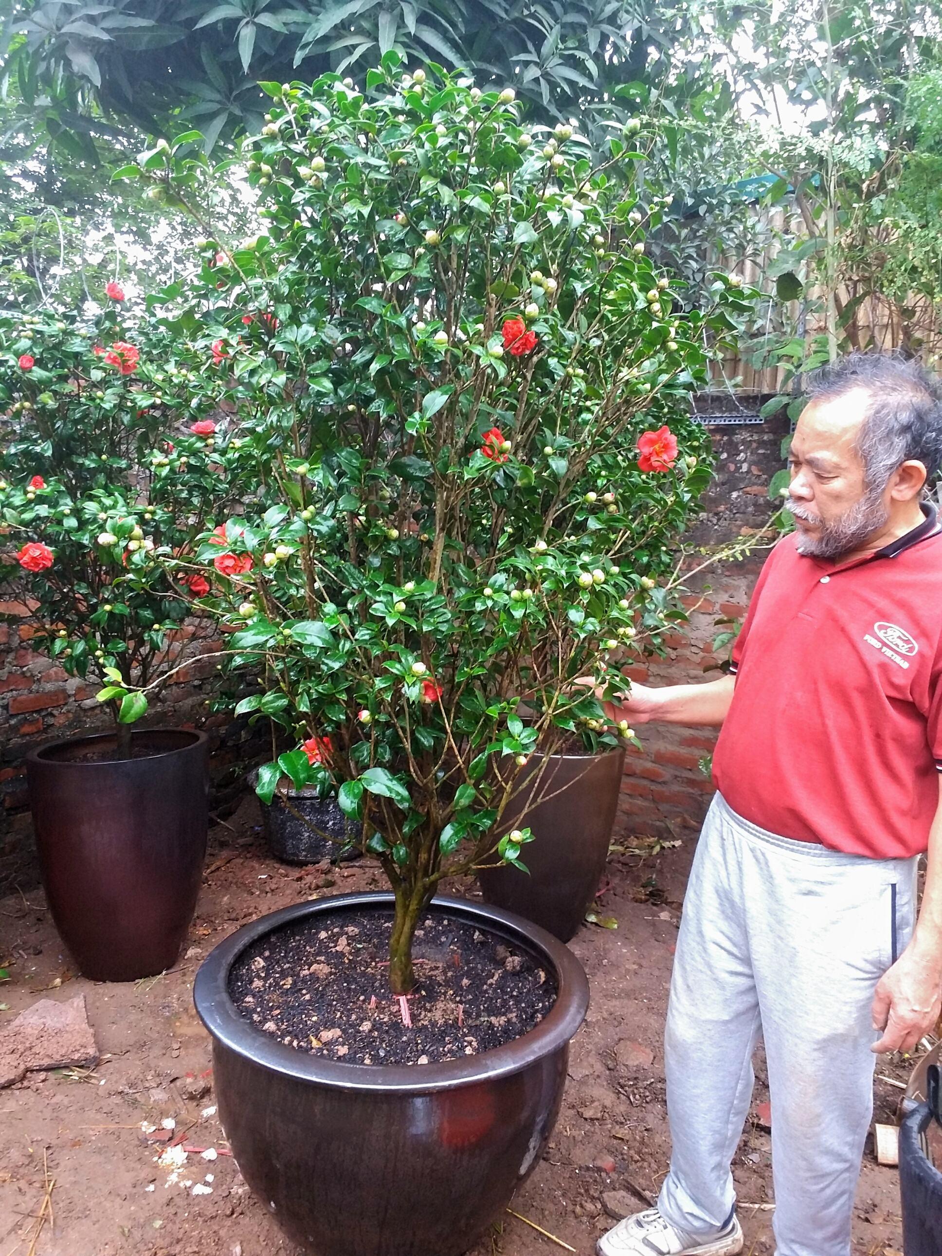Cây hoa trà thâm hồng bát diện ra nụ chi chít