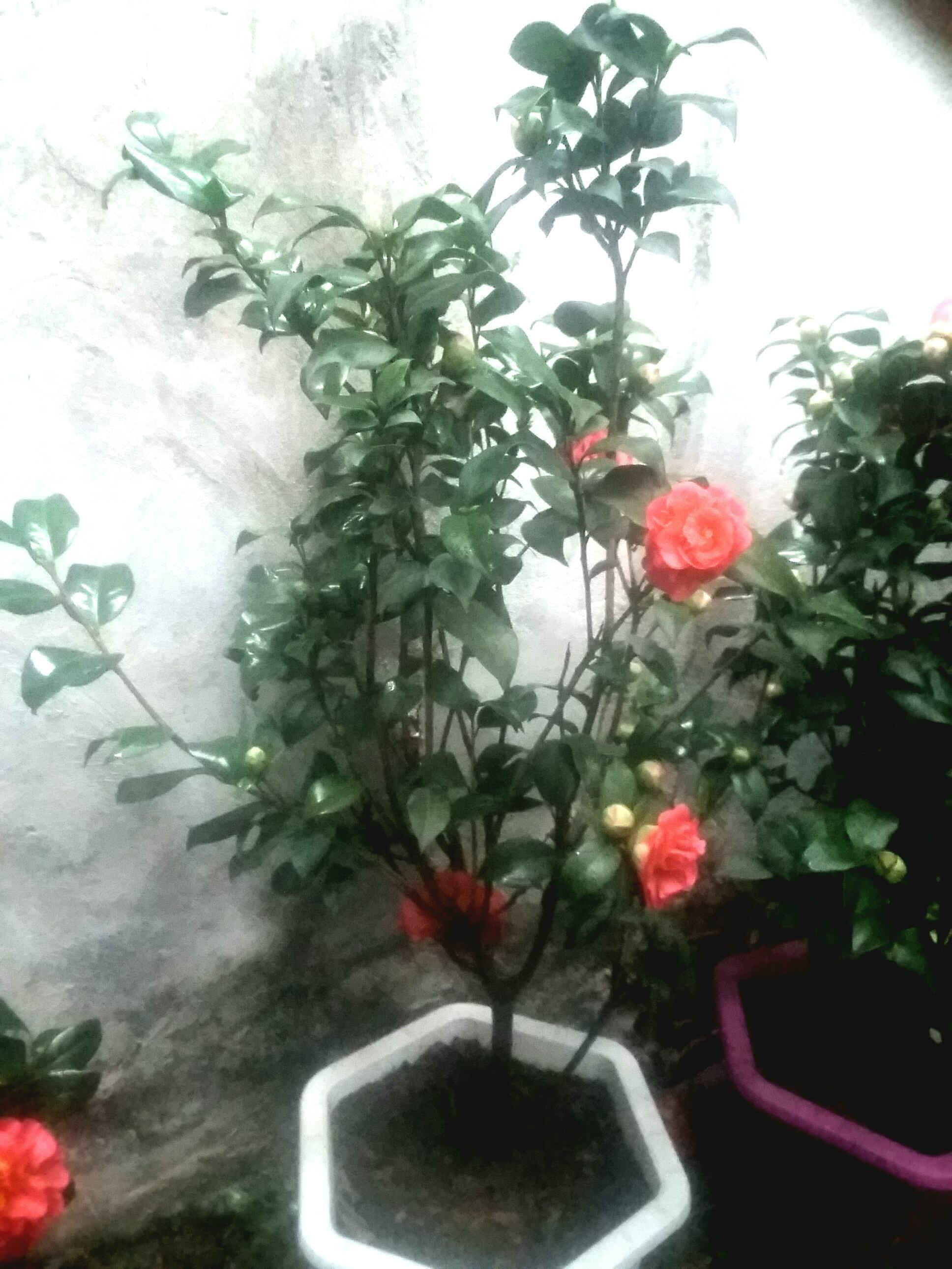 Cây hoa trà thâm hồng bát diện nhỏ