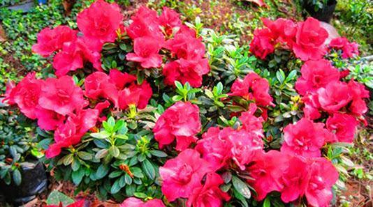 Cây hoa đỗ quyên đỏ