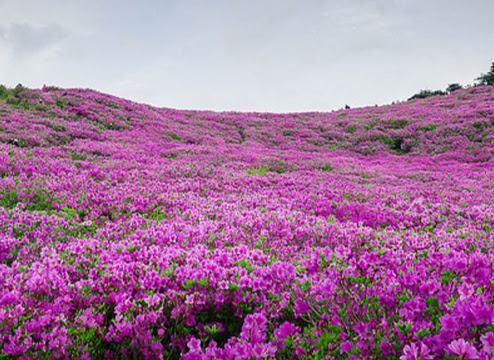 Hoa đỗ quyên mầu tím