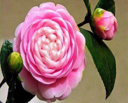 Bông hoa hồng trà Nhật Bản