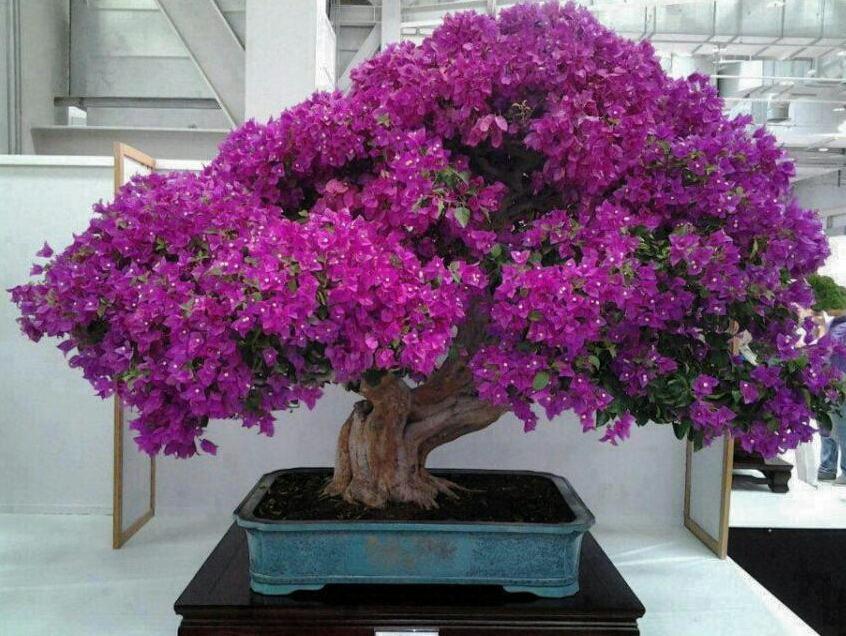 Cây hoa đỗ quyên bonsai tím