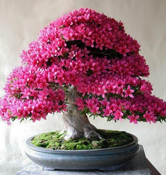 Cây hoa đỗ quyên bonsai đẹp