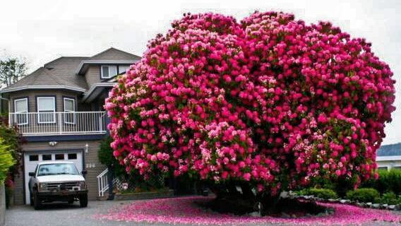 Cây hoa đỗ quyên cổ thụ siêu đẹp