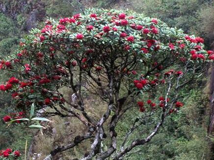 Cây hoa đỗ quyên Việt Nam cổ thụ đẹp