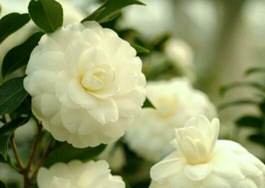 Bông hoa trà bạch việt nam