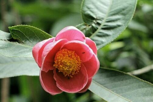 Cây hoa hải đường mùa xuân