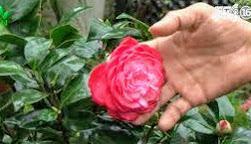 Bông hoa hồng trà Trung Quốc
