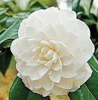 Bông hoa bạch trà
