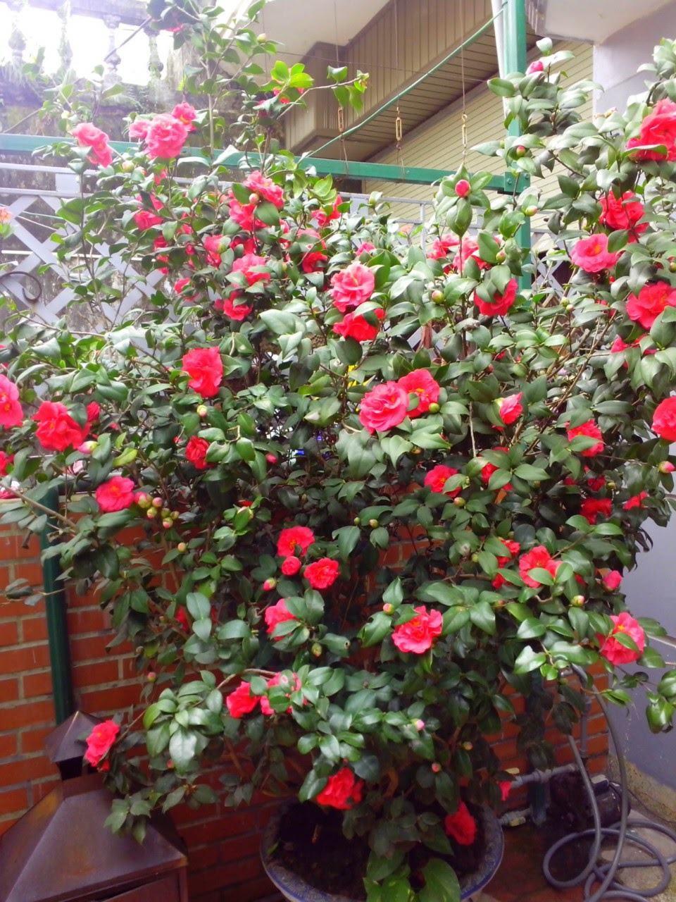Cây hoa trà mi - Vẻ đẹp làm say đắm lòng người, món quà ý nghĩa - 2