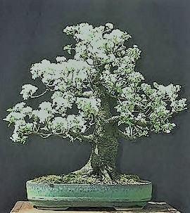 Hoa mẫu đơn bonsai đẹp