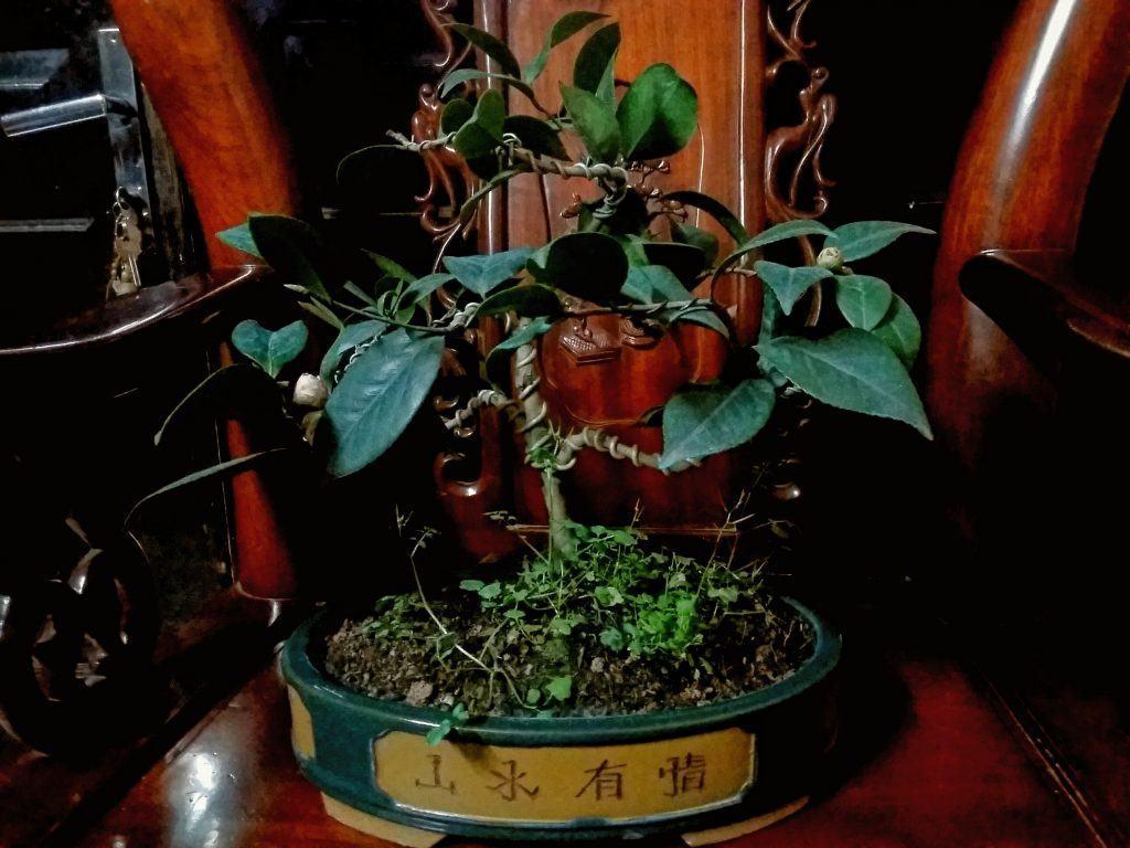 Cây hoa trà mi bonsai thế ngũ phúc