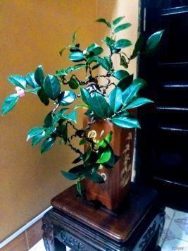 Cây hoa trà mi bon sai thế thác đổ rất đẹp