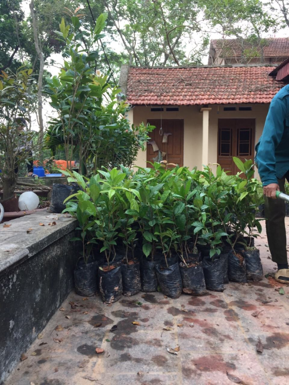 Cây trà hoa vàng giống cao 50 cm