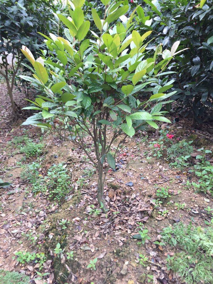 Cây trà hoa vàng giống 4 năm tuổi