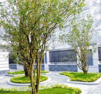 Cây mộc hương trồng trong vườn
