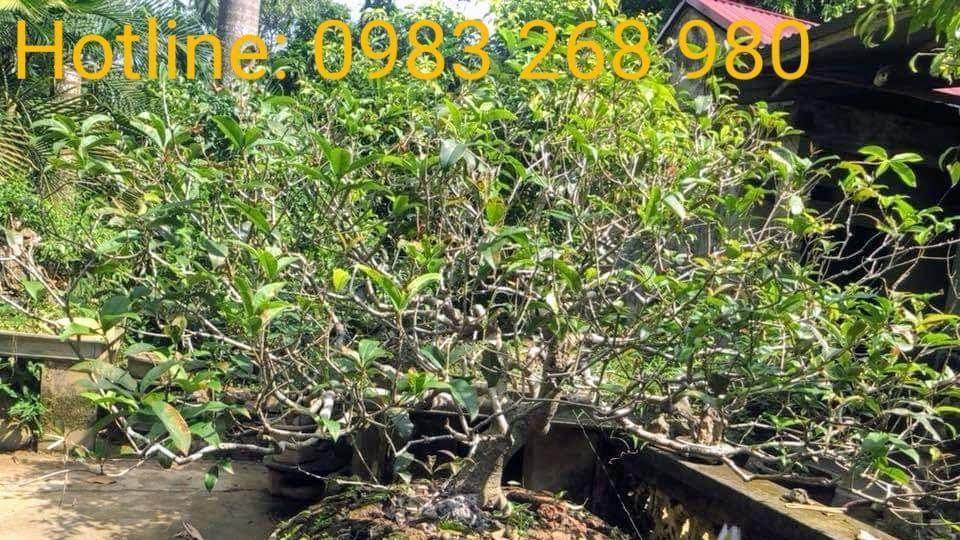 Cây hoa mộc hương Bonsai