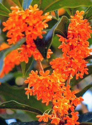 Cây mộc hương mầu vàng cam