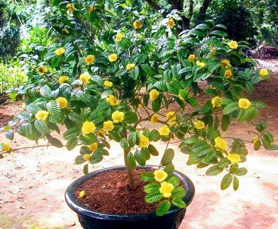 Cây trà hoa vàng làm cảnh