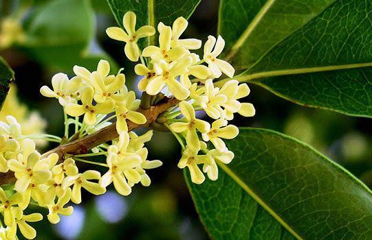 Hoa mộc hương mầu trắng