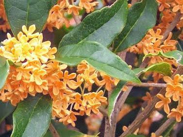 Cây mộc hương mầu vàng