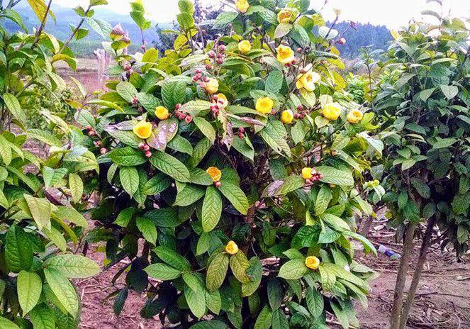Cây trà hoa vàng ra hoa đẹp