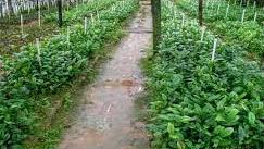 Vườn trà hoa vàng