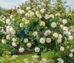 Vườn hoa hồng cổ thân gỗ tree rose