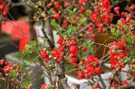 Cây hoa mai đỏ có hoa đỏ thắm và rất sai hoa