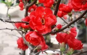 Hoa của cây hoa mai đỏ
